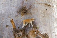 Patas monkey climbing Stock Image