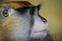 Patas Monkey Royalty Free Stock Images