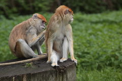 Patas monkey couple Stock Images