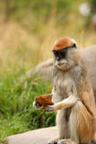 Patas Monkey Eating. A Patas Monkey appears to be thinking, Not potato again! as he looks at his Stock Image