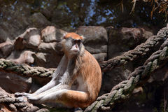 Patas monkey Royalty Free Stock Image