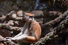 Patas monkey. (Erythrocebus patas), also known as the Hussar monkey royalty free stock image