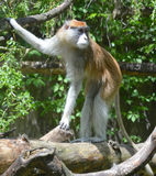 The patas monkey Royalty Free Stock Images