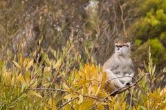Patas Monkey (Erythrocebus patas). The Patas Monkey (Erythrocebus patas), also known as the Wadi monkey or Hussar monkey, is a ground-dwelling monkey Royalty Free Stock Photography