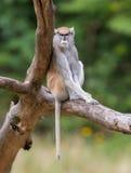 Patas monkey (Erythrocebus patas. ), also known as the hussar monkey stock image
