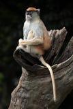 Patas monkey (Erythrocebus patas). Stock Photos