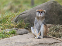 Patas Monkey - Erythrocebus patas Stock Photography