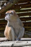Patas monkey,  Erythrocebus patas, lives mainly on the ground Royalty Free Stock Image