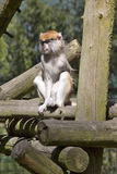 Patas monkey,  Erythrocebus patas, lives mainly on the ground Stock Photography
