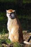 Patas monkey,  Erythrocebus patas, lives mainly on the ground Stock Images