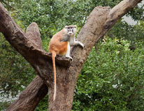 Patas Monkey (Erythrocebus patas). The patas monkey–also known as the wadi, hussar, red, and military monkey–is native to central Africa Royalty Free Stock Photography