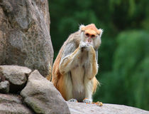Patas monkey Erythrocebus patas sitting on rock eating Stock Photos