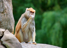 Patas monkey Erythrocebus patas sitting on rock eating Royalty Free Stock Photo