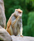 Patas monkey Erythrocebus patas sitting on rock eating Stock Photo