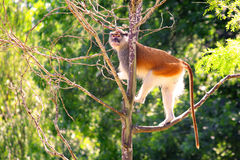 Patas monkey Erythrocebus patason tree Royalty Free Stock Image