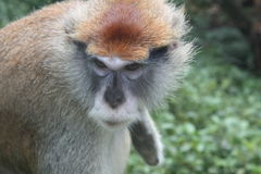 Patas monkey. The patas monkey has long arms and legs. They have reddish-brown hair on their backs, and white and grey hair on their bellies, legs, arms and stock photo