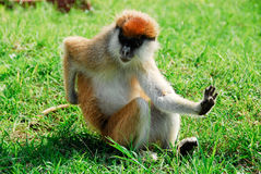 Patas monkey, Kidepo Valley National Park (Uganda Royalty Free Stock Photography