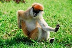 Patas monkey, Kidepo Valley National Park (Uganda. Patas monkey, Kidepo Valley NP (Uganda Royalty Free Stock Photography