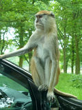 Patas Monkey. In Longleat Safari Park Stock Photography