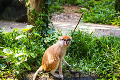 Patas monkey looking at the camera. The young patas monkey in the grass and looking at the camera Stock Photo