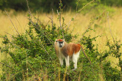 Patas Monkey Looking from raised Bush. A Patas monkey looks out from a raised position atop a clump of bushes in the Ugandan savanna royalty free stock images