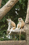 Patas Monkey. 2 Patas monkeys sitting in tree in Houston zoo Royalty Free Stock Photography