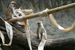 Patas Monkey Playing. Two patas monkey playing with paper Stock Photo
