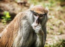 Patas monkey portrait, animal scene Stock Image