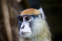 Patas monkey portrait Royalty Free Stock Photography