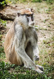 Patas monkey portrait (Erythrocebus patas), beauty in nature Royalty Free Stock Photo