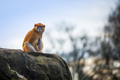 Patas Monkey Royalty Free Stock Photography