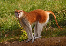 Patas Monkey standing on all fours Royalty Free Stock Photography