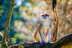 Patas Monkey on Tree Branch Royalty Free Stock Image