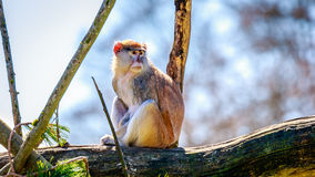 Patas Monkey on Tree Branch Stock Photography