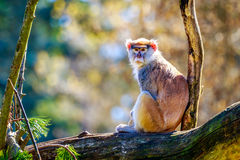 Patas Monkey on Tree Branch Royalty Free Stock Images