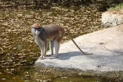 Patas Monkey at water's edge Stock Photo