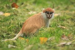 Patas monkey Stock Photo