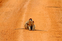 Patas Monkeys on a Dirt Road Royalty Free Stock Photo