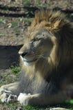 Patas onduladas sob Lion Resting na luz do sol imagens de stock