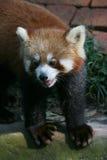 Patas y boca rojas de la panda Foto de archivo