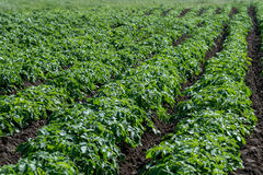 Patata che cresce nel campo Immagini Stock