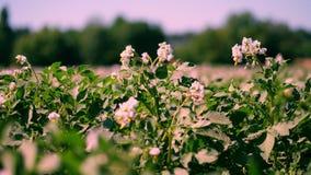 Patata che cresce sulle piantagioni Le file dei cespugli verdi e di fioriture della patata si sviluppano sul campo dell'azienda a archivi video