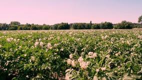 Patata che cresce sulle piantagioni Le file dei cespugli verdi e di fioriture della patata si sviluppano sul campo dell'azienda a video d archivio