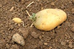Patata che germina Fotografia Stock Libera da Diritti