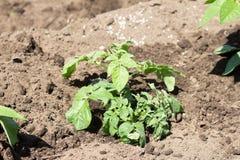 Patata crescente sull'azienda agricola Fotografia Stock
