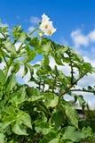 patata del fiore Fotografie Stock