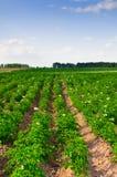 Patata di fioritura del giacimento della patata Fotografia Stock