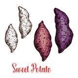 Patata dolce, igname, schizzo di batata dell'ortaggio a radici royalty illustrazione gratis