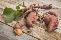 Patata dulce recién cosechada Foto de archivo libre de regalías
