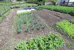 Patata ed erba cipollina ed altre verdure nel giardino a giugno dentro Fotografia Stock Libera da Diritti